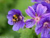 19-Jun-18 Bee and Geranium