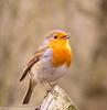 30-Mar-18 Robin  (Erithacus rubecula)