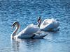10-Jan-18 Mute Swans