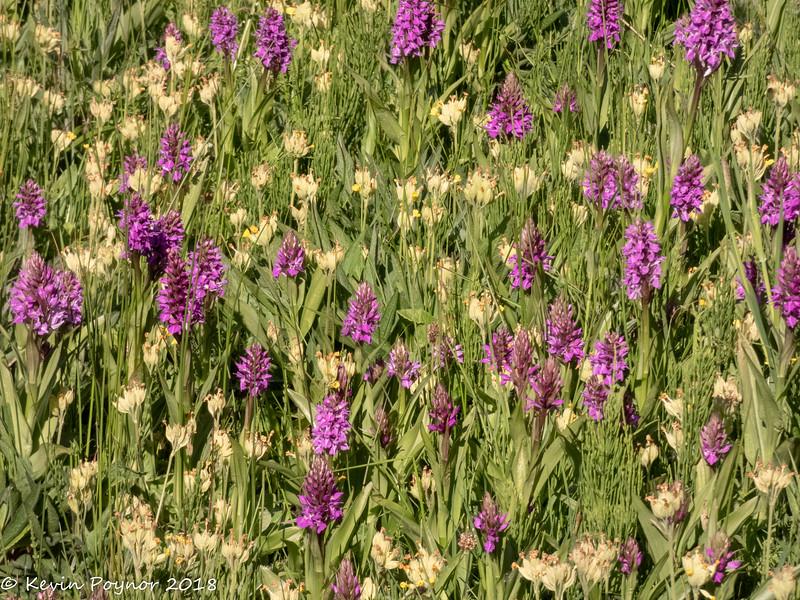 18-Jun-18 Field of Orchid.