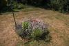 15-Jul-18 Lavenders in my Garden.