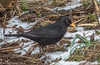 17-Mar-18 Common Blackbird.
