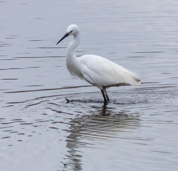 1-Jul-18 Egret