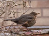 8=Mar-18 Female Common Blackbird.