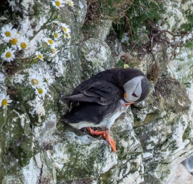 2-Jul-18 Puffin (Fratercula arctica)