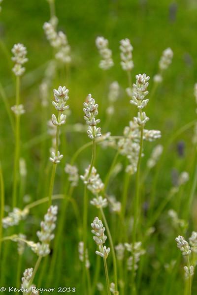 11-Jun-18 White Lavender.
