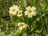 7-Apr-18 Cowslip (Primula veris)