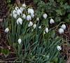 14-Feb-18 Snowdrops