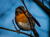 12-Jan-18 Another of the friendly Robins.