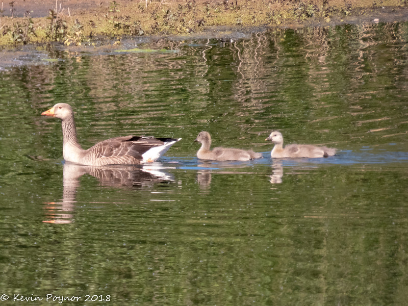 1-Jun-18 Greylag and goslings.