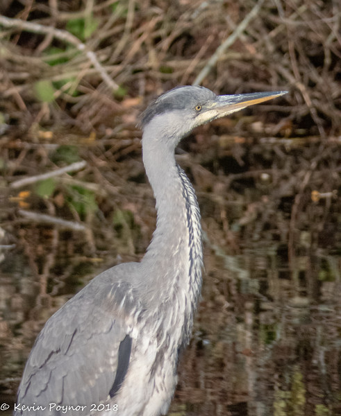 3-Dec-18 Grey Heron (Ardea cinerea)