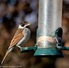24-Nov-18 Reed Bunting (Emberiza schoeniclus)