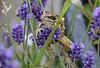 9-Jul-18 Frog in Lavender