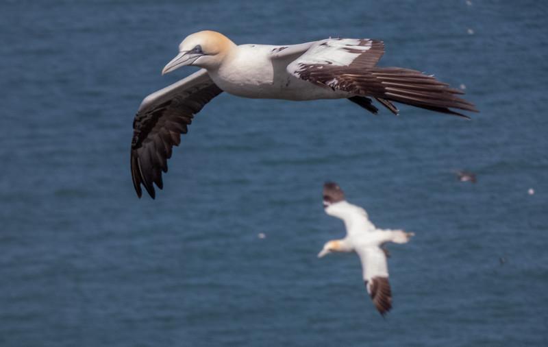 5-Jul-18 2nd or 3rd Summer Gannet in flight.