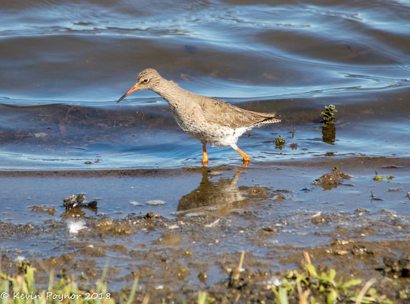 27-Jan-18 Common Redshank