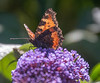 11-Jul-18 Backlit Small Tortoiseshell on Buddleia.