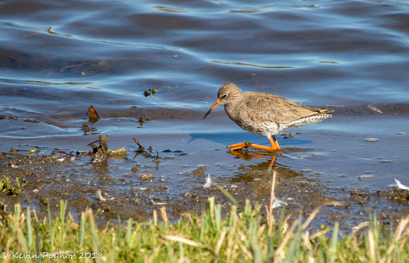 26-Jan-18 Common Redshank