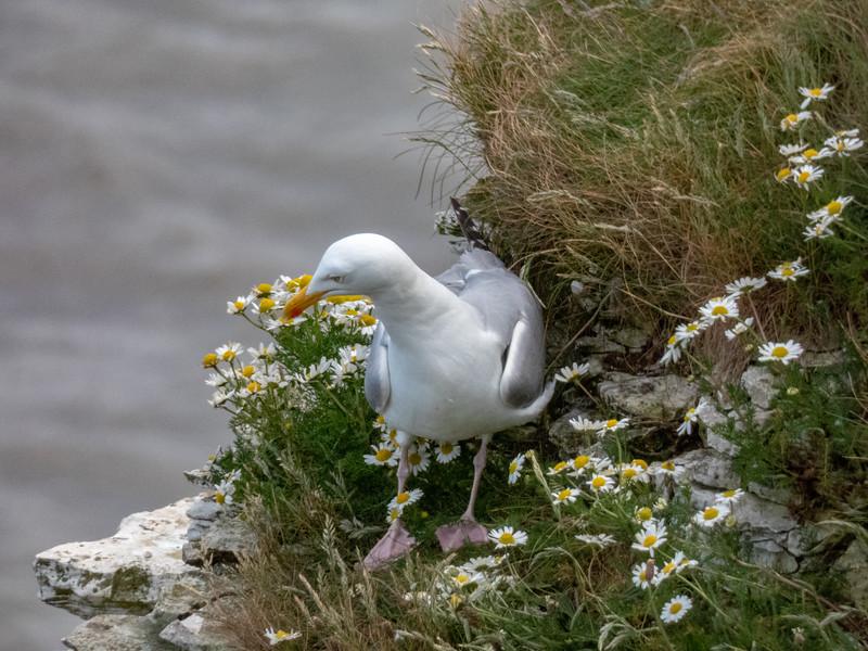27-Jun-18 Herring Gull