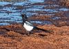 22-Nov-18 Magpie (Pica Pica)