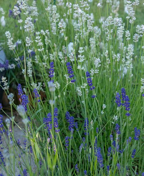 22-Jun-18 Blue and White Lavender