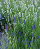 22-Jun-18 Blue and White Lavender