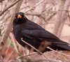 16-Mar-18 Stare down. Male Blackbird (Turdus merula)