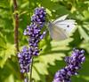 10-Jul-18 Common White on Lavender.