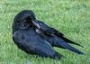 3-Feb-18 Carrion Crow (Corvus corone)