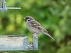 22-May-18 Eurasian Tree Sparrow (Passer montanus)