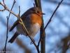 16-Jan-18 Eurasian Robin.