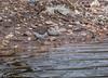 27-Apr-18 Common Sandpiper (Actitis hypoleucos)