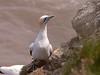 23-Jun-18 Gannet (Morus bassanus)
