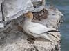 26-Jun-18 Gannet (Morus bassanus)