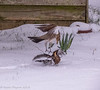 12-Mar-18 Another shot of fighting Fieldfare.
