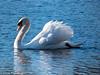 18-Jan-18 Mute Swan.