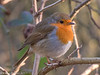 7-Jan-17 European Robin