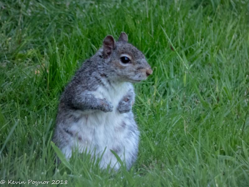 13-Jun-18 Grey Squirrel