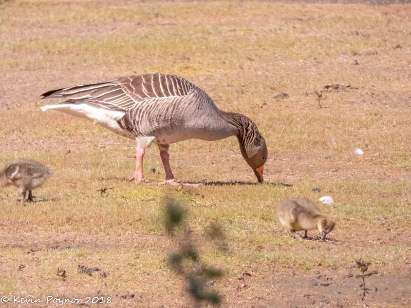 17-Jun-18 Feeding Greylags