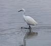 2-Apr-18 Little Egret (Egretta garzetta)