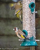 2-Dec-19 Goldfinch (Carduelis carduelis) and Greenfinch (Carduelis chloris)