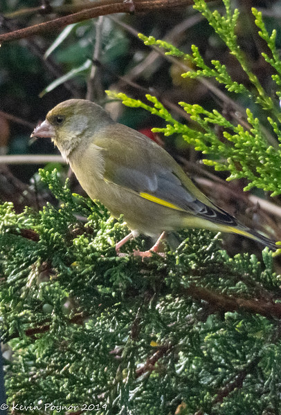 7-Dec-19 Greenfinch (Carduelis chloris)