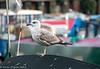 28-Feb-20 Juvenile Herring Gull (I believe!)