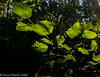 22-Nov-20 Sunlight through Leaves