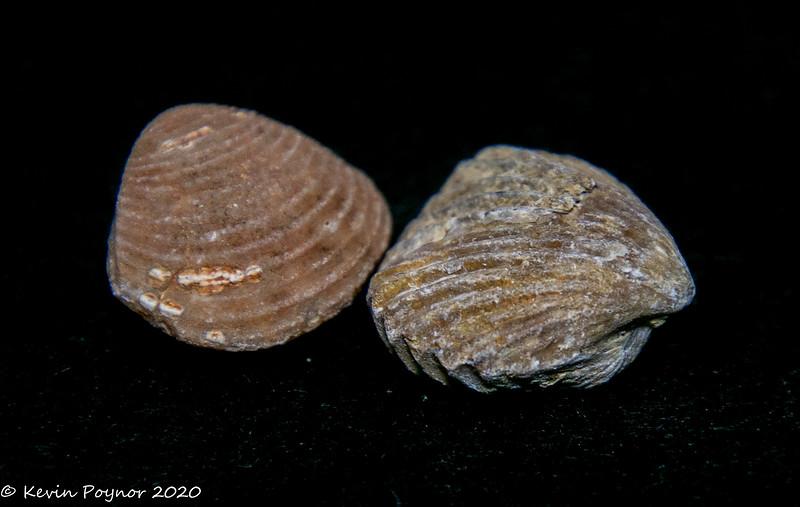 23-Dec-20 Fossil Shells