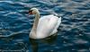 6-Dec-20 Adult Mute Swan (Cygnus olor)