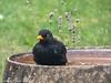 31-Mar-20 Common Blackbird (Turdus merula)