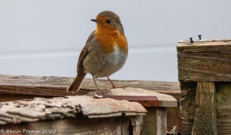 25-Dec-20 Robin (Erithacus rubecula)