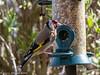 28-Apr-20 European Goldfinch (Carduelis carduelis)