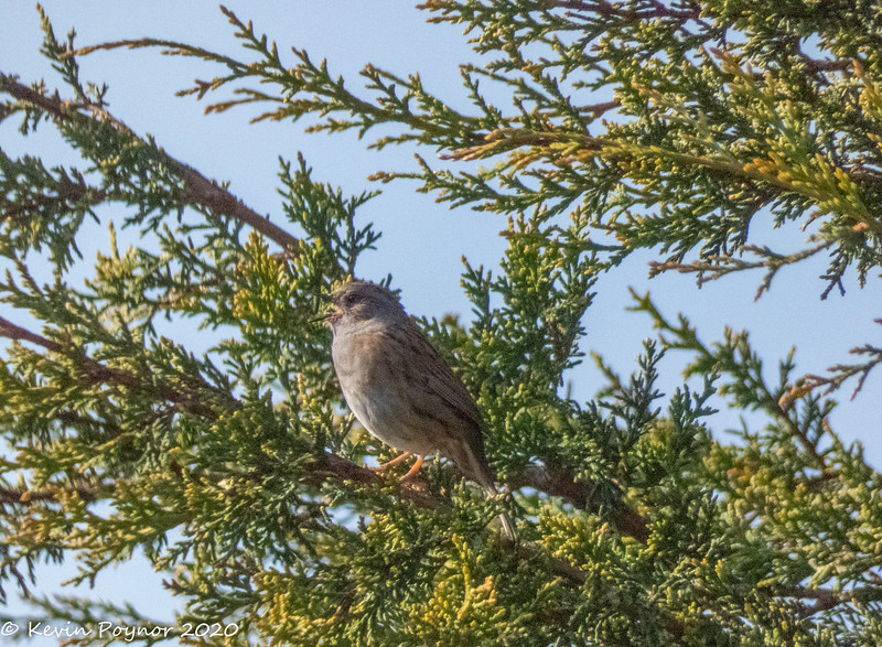 25-Mar-20 Dunnock  or Hedge Accentor (depending where you live) (Prunella modularis)