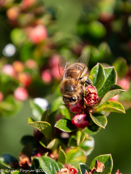 17-May-20 Bee on Cotoneaster
